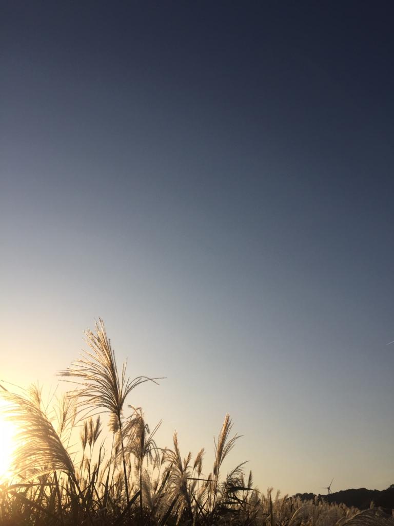 秋空とススキ。夕日を受けてススキが輝いています。